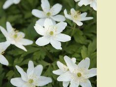 Anemone sylvestris. vroege bloei (4-5-6)