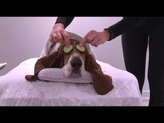 spa day with dean! Basset Hound Funny, Cute Dogs And Puppies, Spa Day, Mansion, Dean, Lol, Youtube, Animals, Relaxing Day