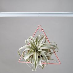 Xerographica Hanging Air Plant With Holder
