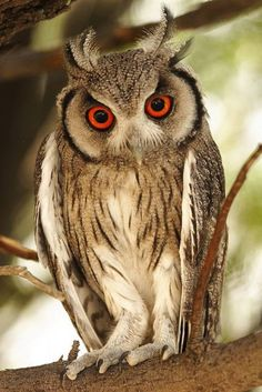 A Southern White faced Owl