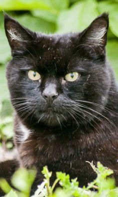 480x800 Wallpaper cat, black, face, lie