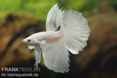 Halfmoon Kampffisch weiß