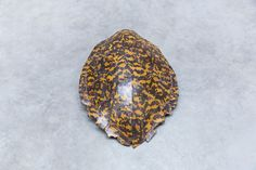 turtle shield carapace leopard