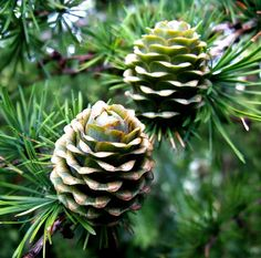 New larch cones