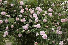 Rosa 'Cecile Brunner' is a large, thornless climbing rose. It blooms in a profusion of soft pink flowers once a year in early Spring.
