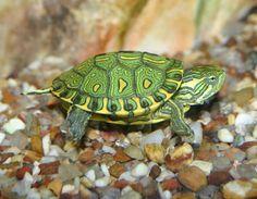 Tartaruga Tigre D'água ! Um animal INCRÍVEL!