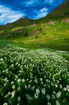 Wildflowers in Bloom in the San Juan Mountains, Colorado (USA)...
