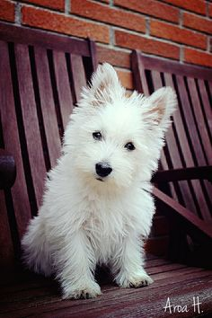 """Click visit site and Check out Cool """"Westie"""" Shirts. This website is top-notch.  Tip: You can search """"your name"""" or """"your favorite shirts"""" at search bar on the top."""