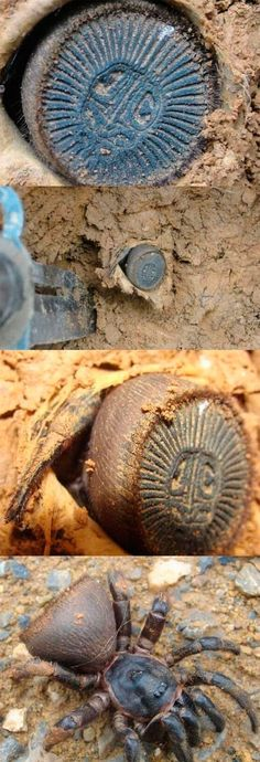 """Cyclocosmia truncata, ravine trapdoor spider. """"Oh hey, some sort of cool artifact… think I'll just…"""""""