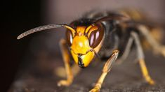 Britain's honey bees face a new threat as Asian hornets are set to reach our shores. What effect will this predatory invasive species have on our native bees and can the Asian hornet be stopped? Japanese Giant Hornet, 4k Photography, British Bees, End Time Headlines, Green News, Paraiso Natural, Pale Horse, Bugs, Point