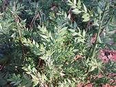 Butcher's Broom is one of many plants used for treatment of varicose veins and hemorrhoids.  It is also good for speeding slow lymphatic movement which means it will reduce swelling around the veins.  - See more at: http://www.top1000naturalremedies.com/2014/01/butchers-broom/