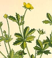 Cinquefoil is also known as five-finger grass, five-leaf grass, five fingers, hand of Mary, five-finger blossom, potentilla, synkefoyle, sun...