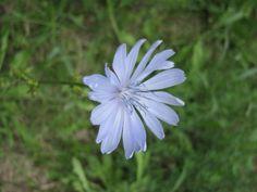 kwiat cykorii Education, Plants, Diet, Plant, Onderwijs, Learning, Planets