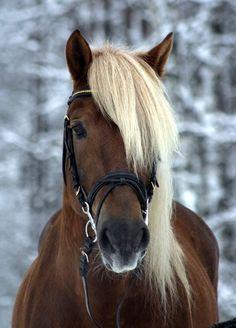 Finnish horse - a gentle creature. #horse #finland