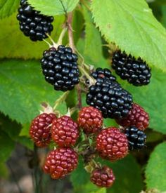 Boysen berry is a cross between a European raspberry, a common blackberry and a loganberry