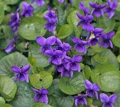 Violets is a common flowering perennial. Phlox Plant, Hummingbird Plants, Wholesale Nursery, Violet Plant, Spring Months, Plant Needs, Shade Garden, Star Shape, Winter Season