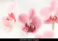 Three pink flowers of Phalaenopsis in bloom against pastel background Stock Photo