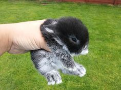 black baby bunnies | baby mini lop rabbits £ 10 posted 4 months ago for sale rabbits ...