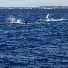 Humpback Whales. Migration Season, Sydney '16.