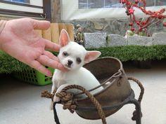 Chihuahua (chiguagua) perro - Criadero Cantillana