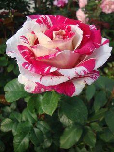 Photo of Rose (Rosa 'Neil Diamond') uploaded by Paul2032