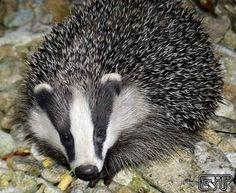 Badgehog.