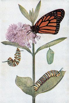 Monarch Caterpillar, Hung Up for Pupation, a Chrysalis, and an Adult
