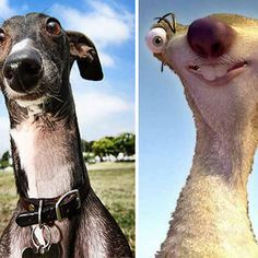 Greyhound Looks Like Sid - Dogs that look like something else