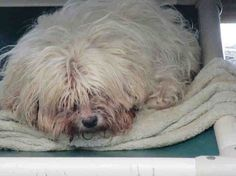 Update: This 10 year old, blind, crying Lhasa Apso has just been RESCUED!!!    Please share to save this dog's life
