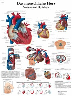 The anatomy and physiology of the human heart is colourfully and accurately depicted in this anatomical chart. This poster is a great teaching aid for lessons on the human heart and the human circulatory system. This thickly laminated anatomical chart is Medical Posters, Heart Anatomy, Heart Poster, Map Canvas, Circulatory System, Human Heart, Anatomy And Physiology, Human Anatomy, Cardiac Anatomy