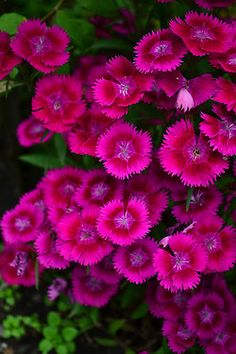 "Dianthus (also commonly called ""pinks"") - great border plant and pretty reliable.  Comes in white, red, purple, shades of pink, & multi-colored."