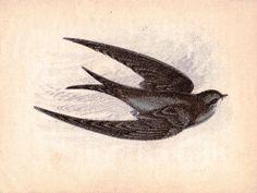 anne pratt victorian first edition 1852 hand colored song bird print the swift Tattoo You, New Tattoos, Tatoos, Songbird Tattoo, Swift Bird, Color Songs, Red Kite, Swallows, Bird Prints