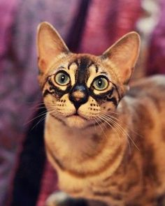 Chatterie Bengallys- Reproduction et vente de chats Bengal/ Chat léopard. {I love the markings on his face} Beautiful Cat Breeds, Beautiful Cats, Animals Beautiful, Cute Animals, Cute Kittens, Cats And Kittens, Ragdoll Kittens, Hairless Cats, Tabby Cats