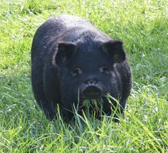 The Thrifty Homesteader: 6 reasons to add American Guinea Hogs to your homestead