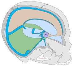 Simplified Explanation Of The Craniosacral System