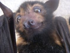 An adorable bat named Freddie.