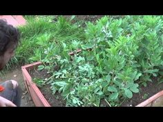 Como Segar E Incorporar El Abono Verde || Huerto Organico || La Huertina De Toni
