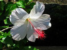 hibiscus .