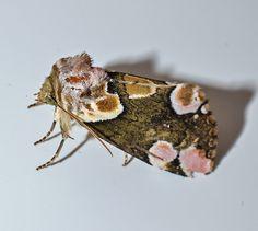 Peach Blossom Moth, East Sussex, UK