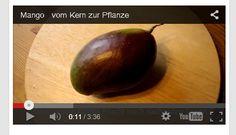 Mr. Greens Welt: Mango-Plaume - vom Kern zur Pflanze