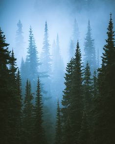 Fog and evergreens, a classic Pacific Northwestern scene. Taken yesterday at Mount Rainier National Park [OC] x : EarthPorn Misty Forest, Pine Forest, Van Life Blog, Mount Rainier National Park, Watercolor Landscape, Landscape Photographers, Nature Photos, Pacific Northwest, Evergreen
