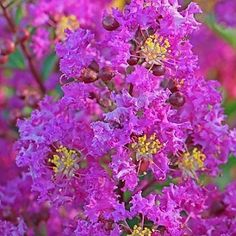 Mea Nursery Emerald Empire Amethyst King Deciduous Crape Myrtle Tree - The Home Depot Bright Flowers, Pretty Flowers, Purple Flowers, Clematis Varieties, Crepe Myrtle Trees, Lagerstroemia, Summer Plants, Spring Blossom, Flowering Trees