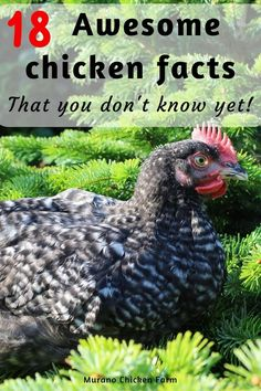 Pet Chickens, Raising Chickens, Chickens Backyard, Chicken Facts, Facts You Didnt Know, Poultry, Farmer, Fun Facts, Chicken Coops