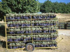 Drying Lavender flowers after harvest, Sault, Provence, France