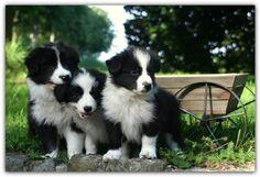 Border collie puppies black & white
