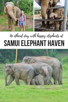 At Samui Elephant Haven, NO riding, NO bathing and NO chains means these rescued elephants are happy elephants at this ethical elephant experience in Thailand!    #KohSamui #Thailand #ethicalanimalencounter