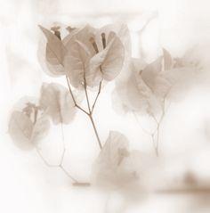 arhm-scrap:  white flower by martorre on Flickr.