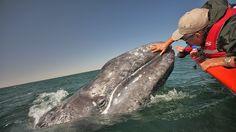 Los Cabos resort creates a whale safari: Travel Weekly