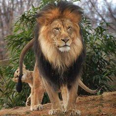 Cepapa lion gronde son petit qui afait une bêtise mais lalionne arriveet...