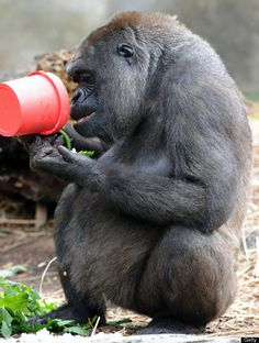 A Western lowland gorilla eats popcorn from a pot as a Christmas treat at Taronga Zoo in Sydney on December 21, 2011. Various animals were also given early Christmas enrichment treats inside boxes wrapped in colourful paper to arouse their curiosity. AFP PHOTO / Torsten BLACKWOOD